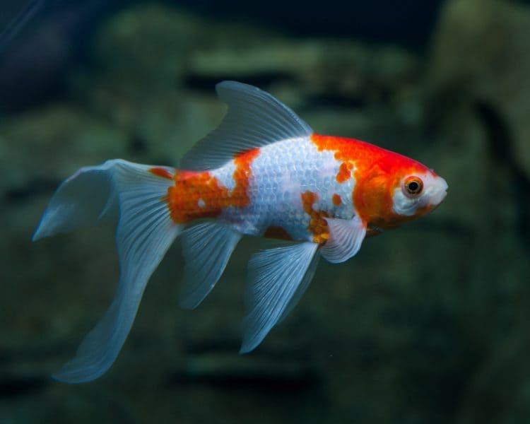 Goldfish faq fish care for Koi vs goldfish