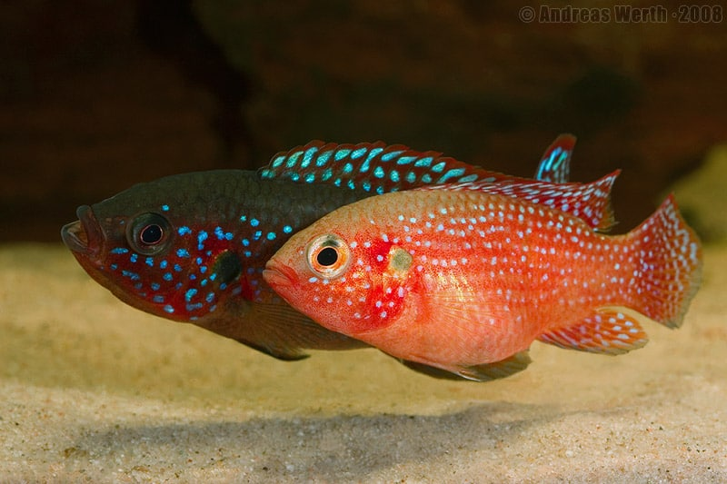 Breeding jewel cichlids fish care for Cotton wool disease in fish