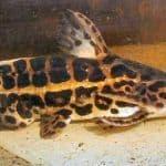The Elusive Jaguar (Liosomodoras oncinus)