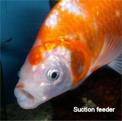 Suction feeder