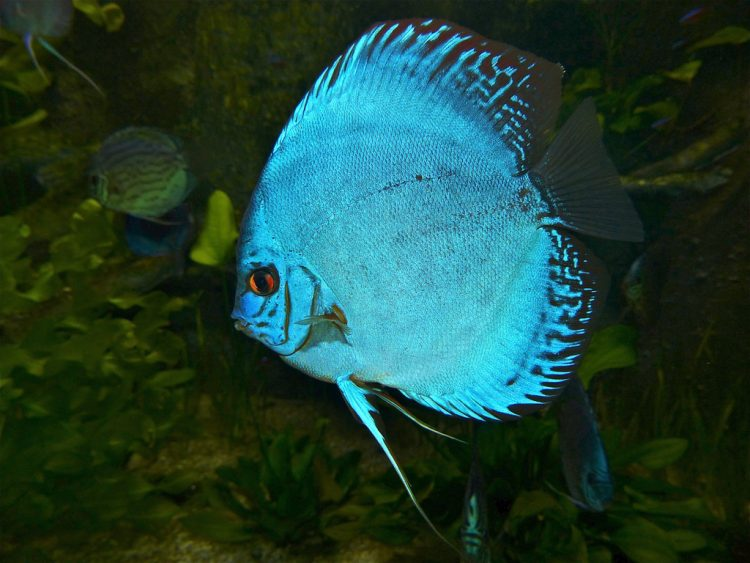 Breeding Symphysodon Discus Fish Care