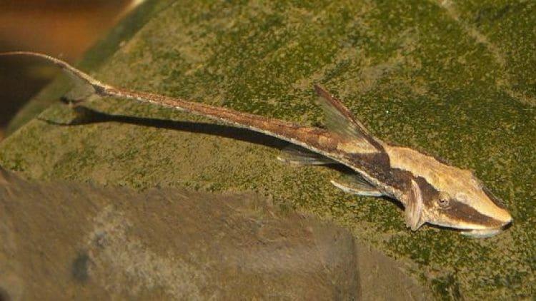 Breeding Whiptails