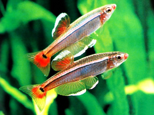 White Cloud Mountain Minnow Fish Care,Agave Plants For Sale