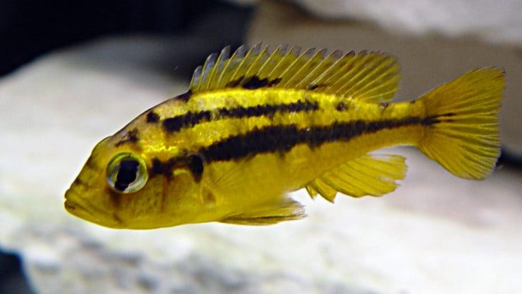 My Experience with Pelvicachromis subocellatus (The Yellow-cheeked Kribensi)