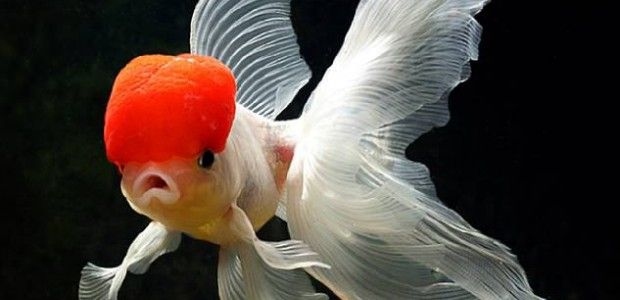 Goldfish FAQ | Fish Care