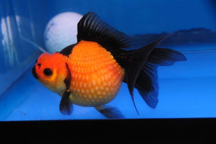 Black Ranchu Goldfish