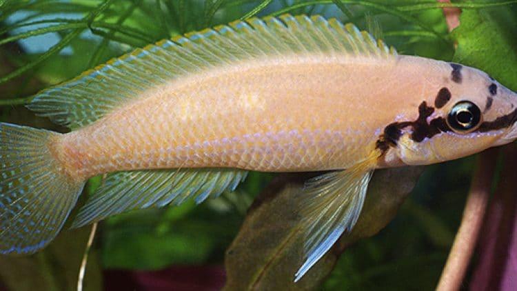 Spawning Chalinochromis brichardi 'Masked'