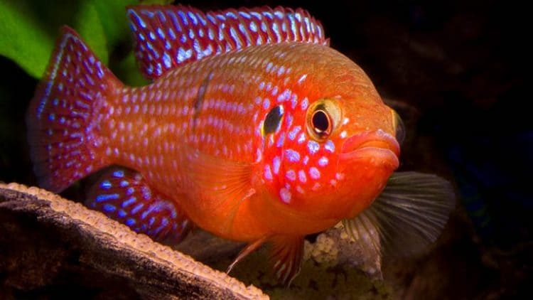 My Experiences With A Substrate Spawner Hemichromis bimaculatus, the Jewel Cichlid
