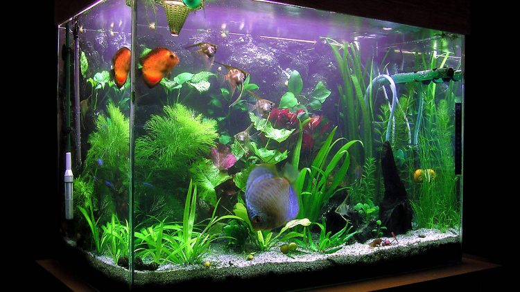 Livebearing Fish Use in Tanks