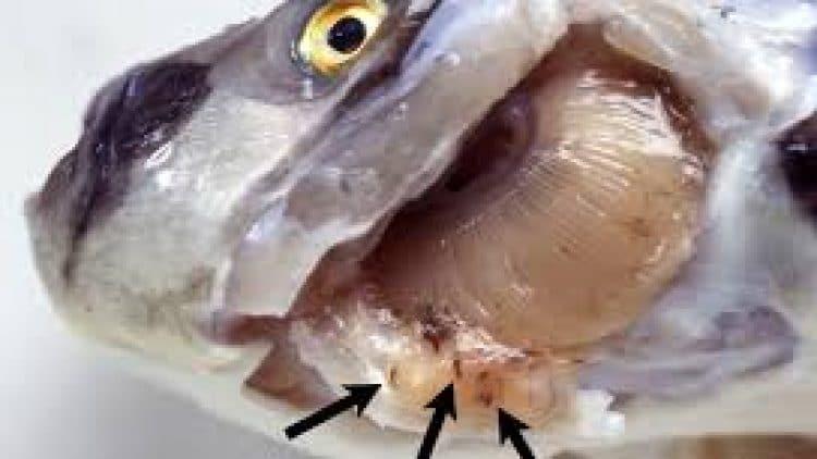 Monogenea of Fishes