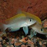 Spawning Neolamprologus sp. 'caudopunctatus kipili'