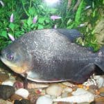 Pacu – A Giant Characin of the Amazon