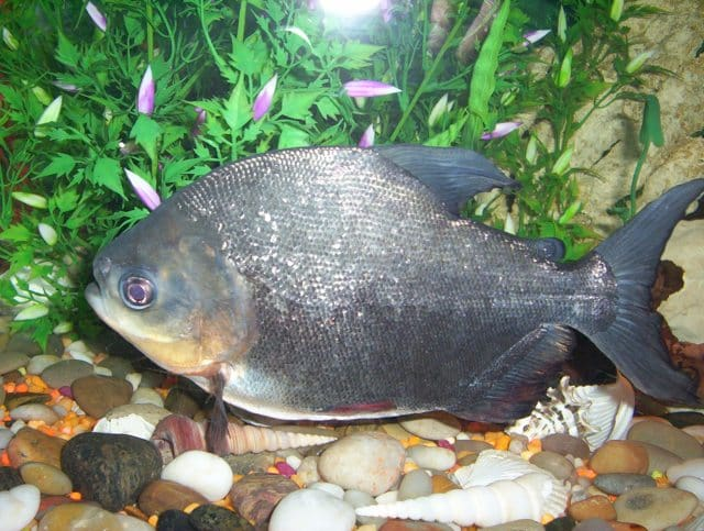 Pacu - A Giant Characin of the Amazon - Fish Care