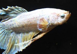 Bacterial-Septicemia-betta-fish-disease