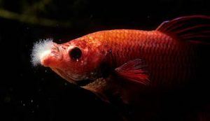 Complete Guide to Betta Fish Diseases and Treatment (with pictures) | Fish Care