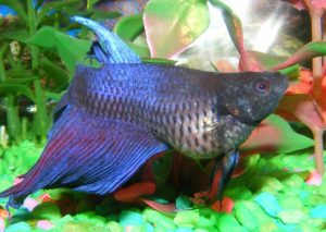 Complete guide to betta fish diseases and treatment with for Bloated betta fish