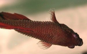 dropsy-disease-betta