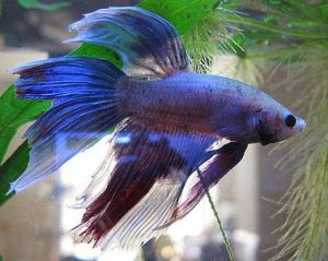 fin-rot-tail-rot-betta-fish