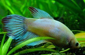 intestinal-parasites-betta-fish