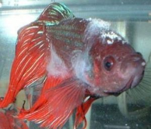 slime-disease-betta-fish