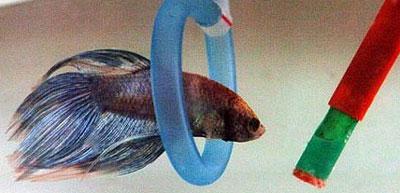 Betta-swimming-hoop