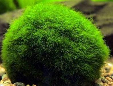 Marimo-Moss-Ball