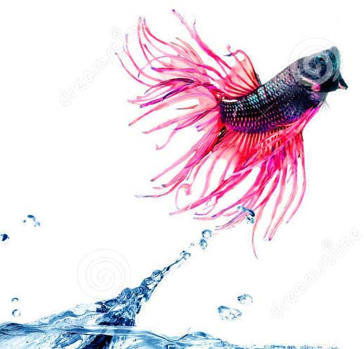 siamese-fighting-fish-jumping-out-water