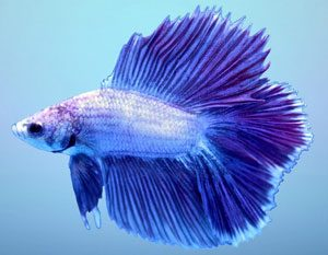 Different Color Variations Of Betta Fish Fish Care