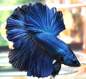 Different color variations of betta fish fish care for Betta fish colors