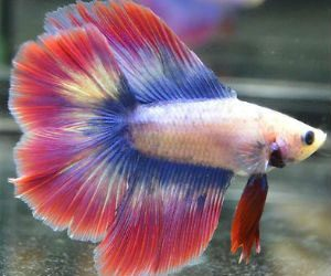 butterfly-color-betta