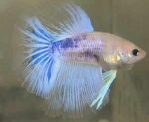 grizzle-color-betta