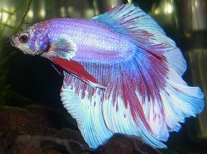 marble-color-betta