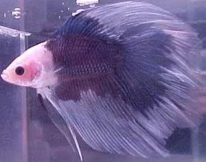 piebald-color-betta-fish