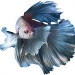 The History of Betta Fish