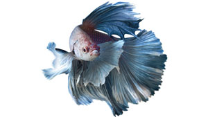 betta-fish-history