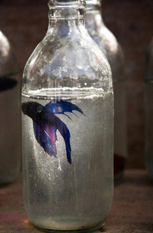 traditional-thai-jars-betta-fish