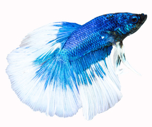 blue-coloured-betta-fish