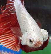 betta-fish-gill-parasite-disease-1