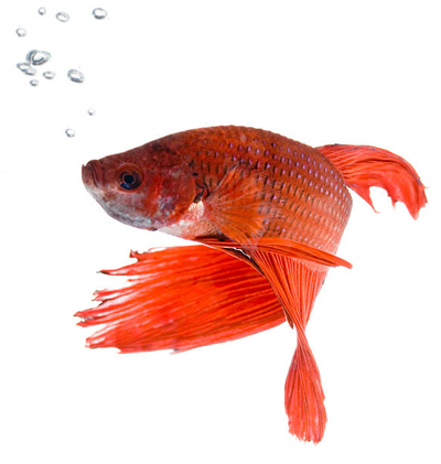 Bettas 101 fish care for What can you feed betta fish
