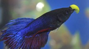 betta-fish-eating