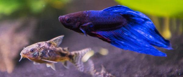 Tankmates for bettas fish care for Betta fish behavior
