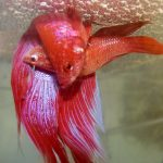 breeding-betta-fish