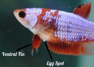 Pregnant betta fish pictures