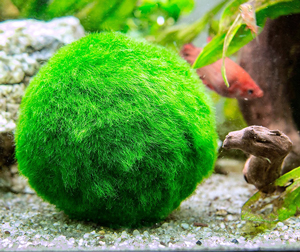 moss-ball-for-betta