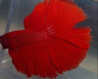 tail-biting-betta