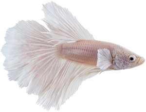 white-betta-fish