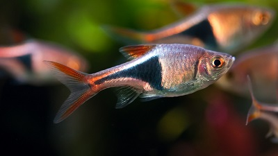 fish that can live with bettas | fish care