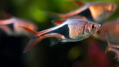 Harlequin-Rasbora-Trigonostigma-Heteromorpha