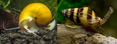 aqutic-snail-assassin-snail