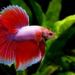 Fish That Can Live With Bettas